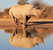Rinoceronte negro - en peligro - reflexión de la especie Imágenes de archivo libres de regalías