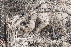 Rinoceronte negro entre árboles muertos Imagenes de archivo