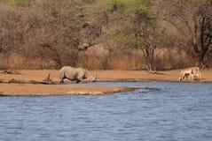 Rinoceronte negro herido Foto de archivo libre de regalías