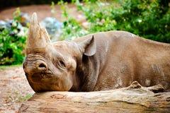 Rinoceronte negro que descansa su cabeza Imagenes de archivo