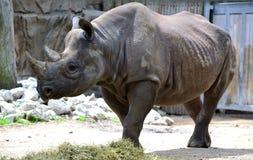 Rinoceronte negro que muestra apagado su armadura Imagen de archivo libre de regalías