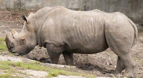 Rinoceronte nel giardino zoologico Immagini Stock Libere da Diritti