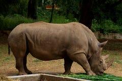 Rinoceronte nel giardino zoologico di Mysore fotografie stock libere da diritti