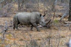 Rinoceronte nel maggior parco nazionale di Kruger, Sudafrica Fotografia Stock Libera da Diritti