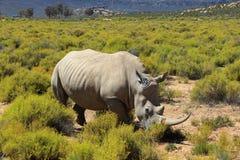Rinoceronte nel parco nazionale di Kruger Fotografia Stock Libera da Diritti