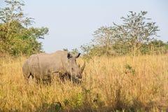 Rinoceronte nel selvaggio Fotografie Stock