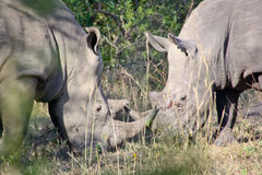 Rinoceronte nel selvaggio Immagine Stock