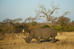 Rinoceronte nell'ambiente africano Fotografie Stock Libere da Diritti