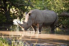 Rinoceronte nella sosta di Kruger Fotografie Stock Libere da Diritti