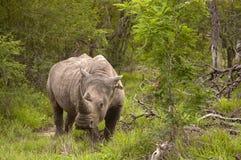 Rinoceronte nella sosta di Kruger Fotografia Stock Libera da Diritti