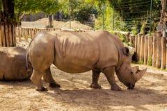 Rinoceronte nello zoo a Budapest Fotografia Stock Libera da Diritti