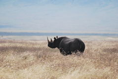 Rinoceronte nero Fotografia Stock Libera da Diritti