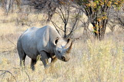 Rinoceronte nero Fotografie Stock