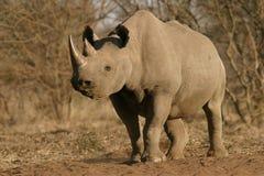Rinoceronte nero Immagine Stock Libera da Diritti