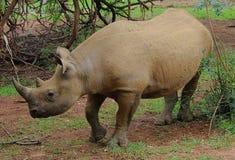 Rinoceronte nero Immagine Stock