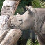 Rinoceronte nero africano orientale nel profilo Fotografato a porto Lympne Safari Park vicino a Ashford Risonanza Regno Unito fotografia stock