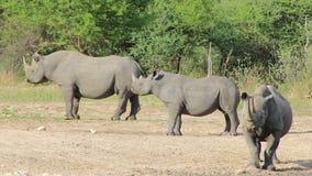 Rinoceronte nero africano pericoloso - fortezza 2 Immagini Stock