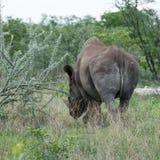 Rinoceronte nero che si ritira, Namibia fotografia stock