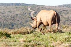 Rinoceronte nero che solleva la sua gamba Immagini Stock