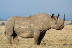 Rinoceronte nero con i oxpeckers fotografia stock