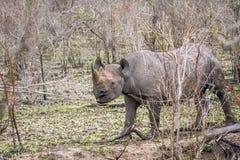 Rinoceronte nero nel parco nazionale di Kruger, Sudafrica Fotografia Stock