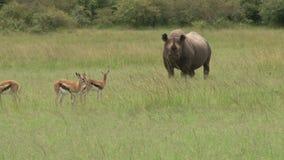 Rinoceronte nero nel selvaggio video d archivio