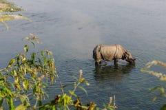 Rinoceronte no café da manhã no rio de Rapti nas selvas de Nepal Ajardine com o rinoceronte asiático em Chitwan, Nepal Imagem de Stock Royalty Free