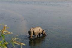 Rinoceronte no café da manhã no rio de Rapti nas selvas de Nepal Ajardine com o rinoceronte asiático em Chitwan, Nepal Foto de Stock Royalty Free