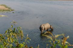 Rinoceronte no café da manhã no rio de Rapti nas selvas de Nepal Ajardine com o rinoceronte asiático em Chitwan, Nepal Imagem de Stock