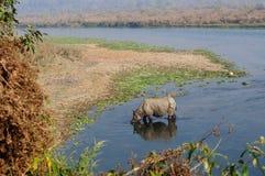 Rinoceronte no café da manhã no rio de Rapti nas selvas de Nepal Ajardine com o rinoceronte asiático em Chitwan, Nepal Imagens de Stock
