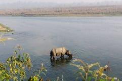 Rinoceronte no café da manhã no rio de Rapti nas selvas de Nepal Ajardine com o rinoceronte asiático em Chitwan, Nepal Foto de Stock