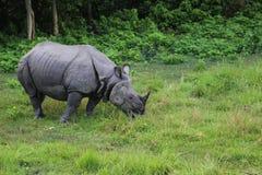 Rinoceronte no Forest Park em chitwan, Nepal Fotos de Stock