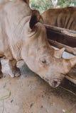 Rinoceronte no jardim zoológico Fotos de Stock Royalty Free