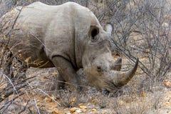 Rinoceronte no maior parque nacional de Kruger, África do Sul Fotografia de Stock
