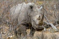 Rinoceronte no maior parque nacional de Kruger, África do Sul Imagem de Stock
