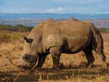 Rinoceronte no parque de Masai Mara, Kenya fotos de stock royalty free
