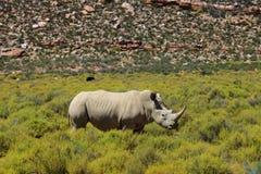 Rinoceronte no parque nacional de Kruger Fotografia de Stock Royalty Free