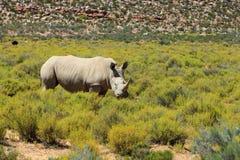 Rinoceronte no parque nacional de Kruger Fotos de Stock Royalty Free