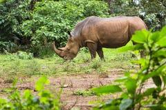 Rinoceronte no parque nacional de Nairobi, Kenya Fotos de Stock Royalty Free
