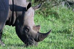 Rinoceronte, parque nacional de Kruger Imagenes de archivo