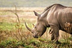 Rinoceronte, parque nacional de Kruger Imagen de archivo