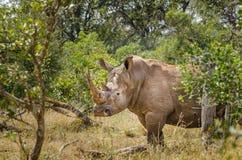 Rinoceronte, parque nacional de Kruger Foto de archivo libre de regalías