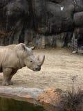 Rinoceronte pela água foto de stock royalty free