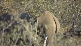 Rinoceronte pericoloso che cammina nel cespuglio video d archivio