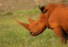 Rinoceronte polveroso al tramonto Fotografie Stock