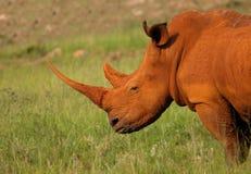 Rinoceronte polvoriento en la puesta del sol Fotos de archivo