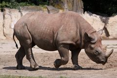 Rinoceronte preto Fotos de Stock