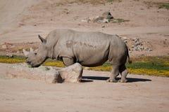 Rinoceronte preto Fotografia de Stock