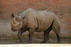Rinoceronte preto Imagem de Stock Royalty Free