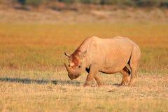 Rinoceronte preto Foto de Stock